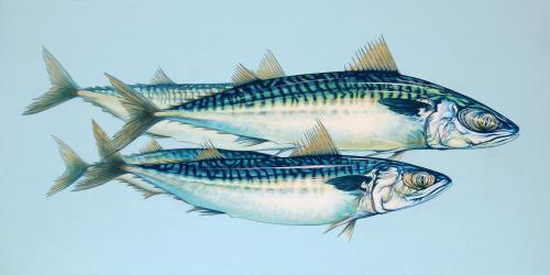 Four Atlantic Mackerel