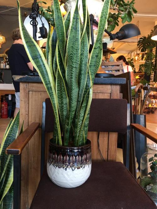 Large Snake Plant Drip Glaze  Brown Pot