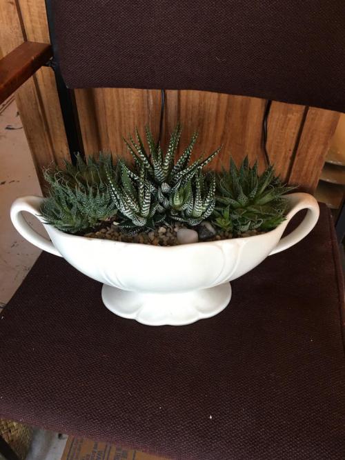 Trio Haworthia - Vintage Berwick Oval Pot