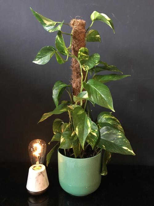 Pothos moss Pole  Green Pot