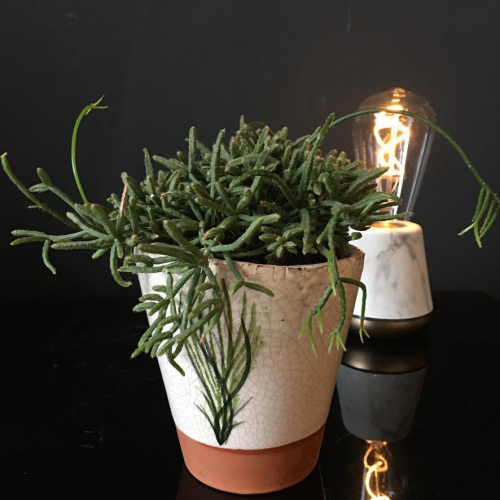 Rhipsalis Terra Pot