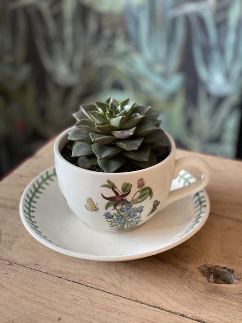 Large Echeveria Vintage Portmerion Cup/Saucer
