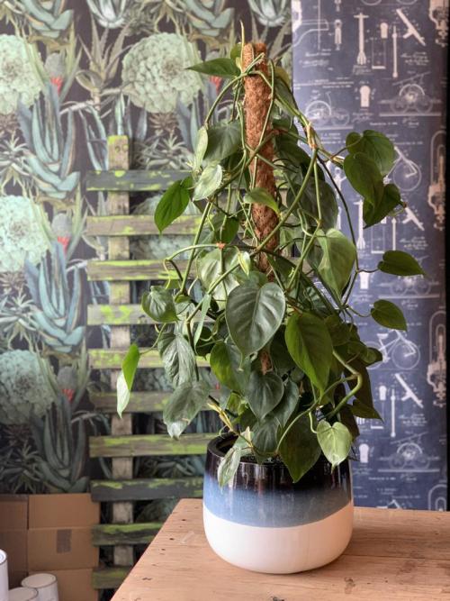 Large Golden Pothos Blue/White Planter