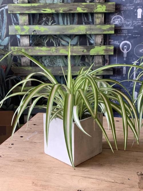 Spider Plant Square Concrete Planter