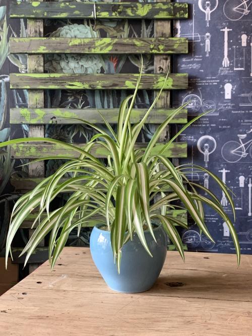 Spider Plant Blue Dome Pot