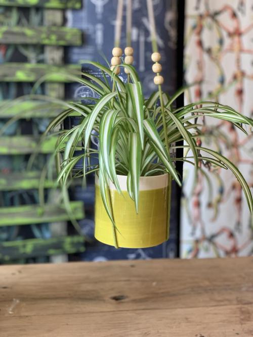 Spider Plant Hanging Green/Cream Pot