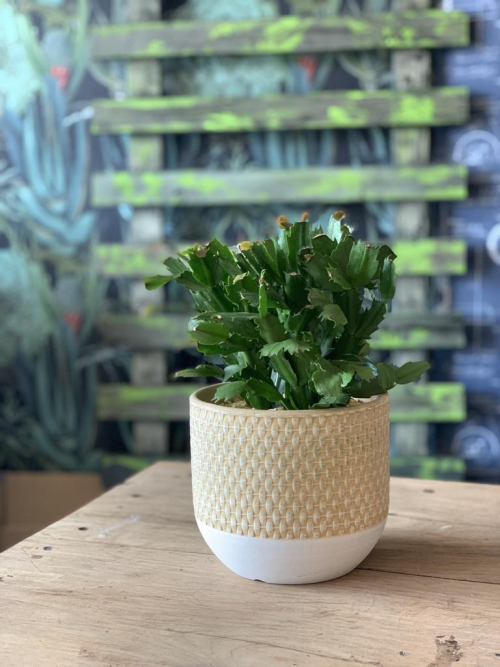 Lg Easter Cactus Lemon Weave Pot