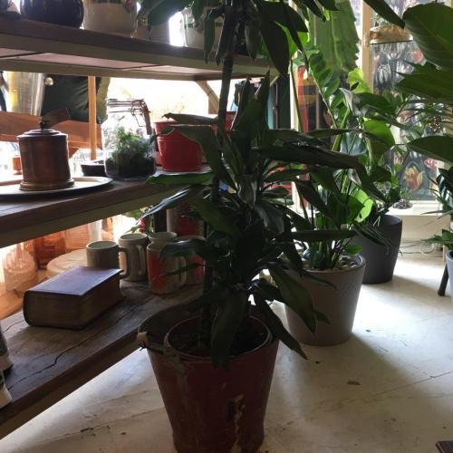 Dracaena Janet (Plant Only)