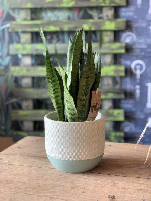 Snake Plant Green Wicker Effect Pot