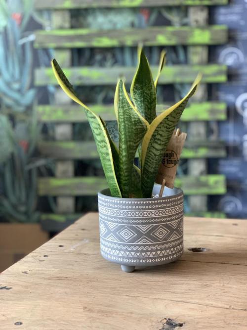 Snake Plant Grey Aztec Pot