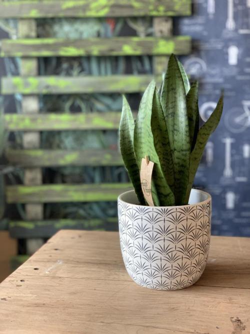 Snake Plant Deco Pot