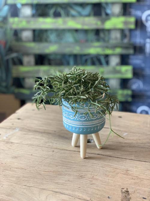 Rhipsalis Blue Pot w/Legs