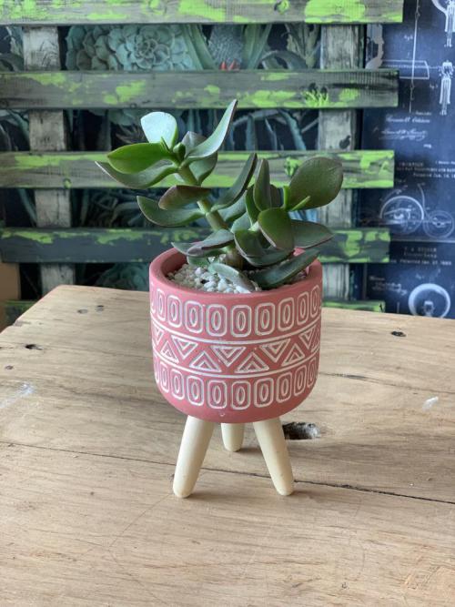 Crassula Pink Pot Wooden Legs