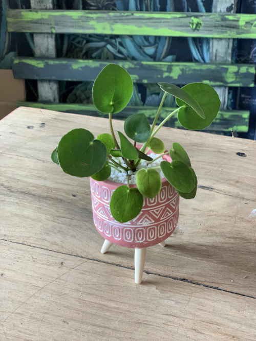 Chinese Money Plant Pink Pot Wooden Legs