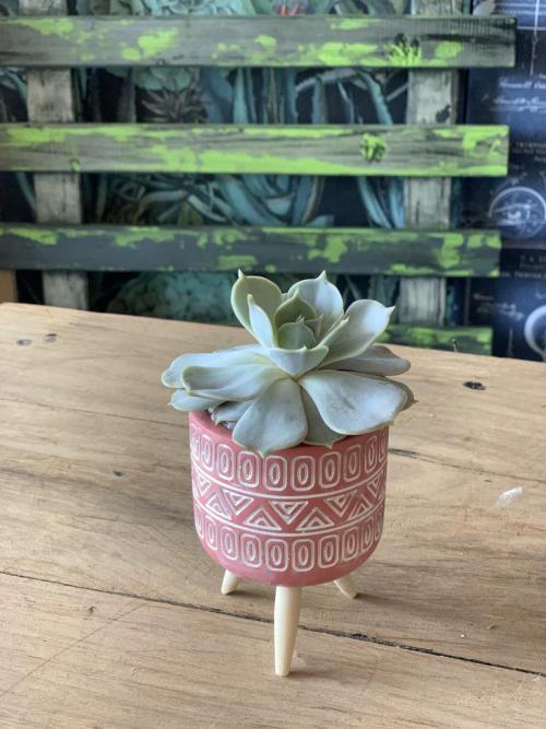 Echerevia Pink Pot Wooden Legs