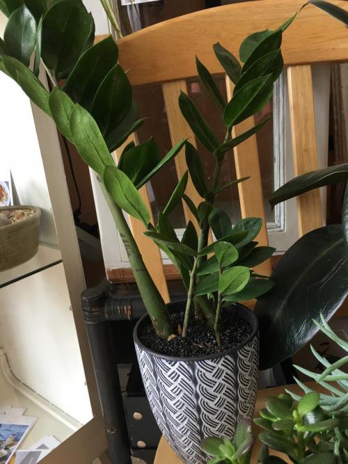 Zamioculas - Grey/White Weave Patterned Tall Grey Pot