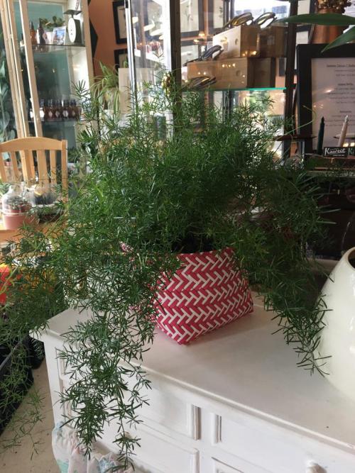 Asparagus Densifloris - Pink/White ZigZag Woven Basket